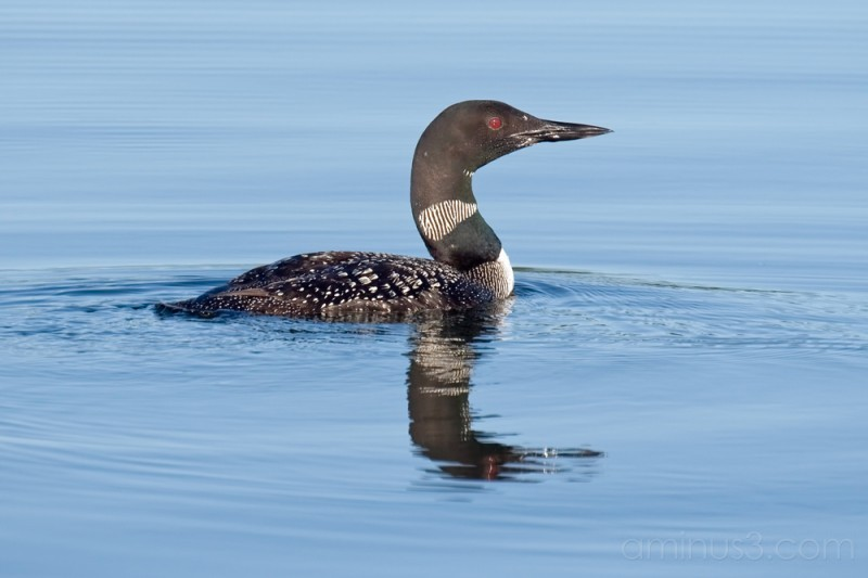 Loon of Wisconsin