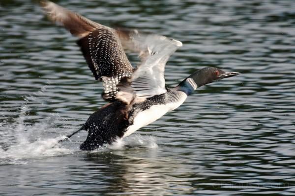 Loon Taking Flight