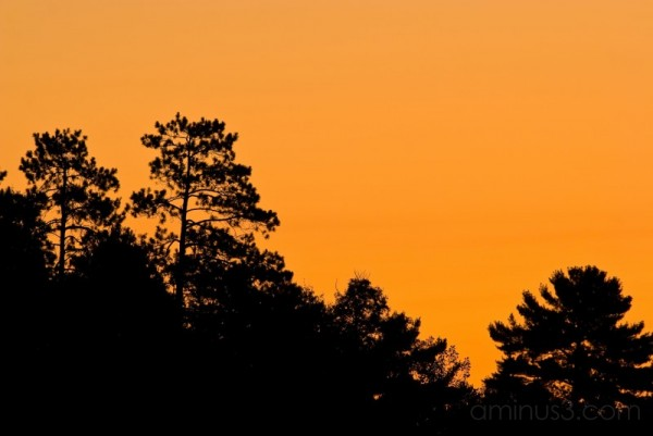 Silhouetted Pines