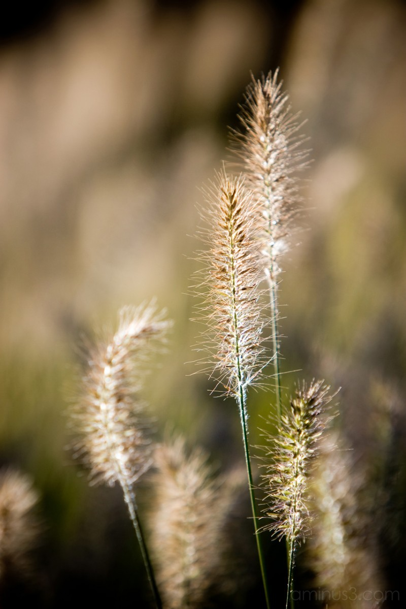 Grasses Continued