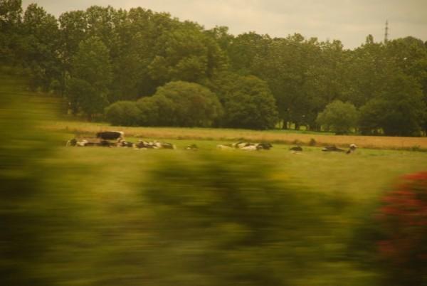 A herd of cows in a field.