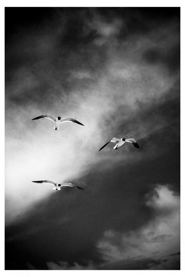 Three birds flying on a clouded day.