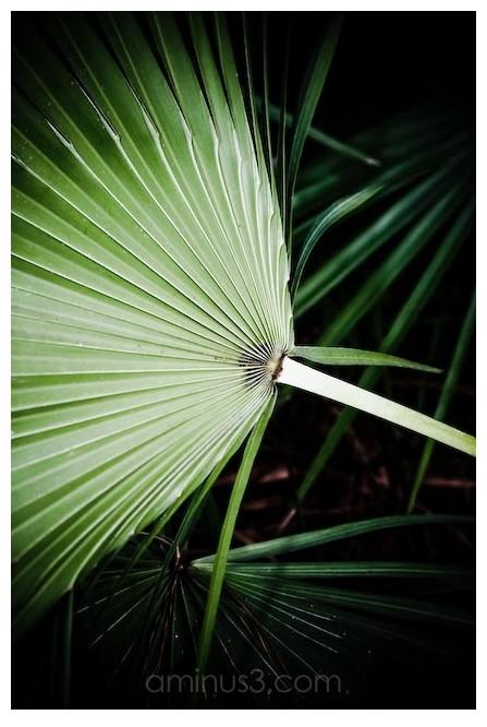 a fan palm
