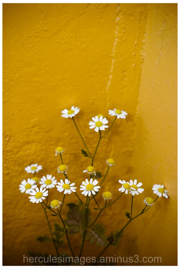 Against a Yellow Wall