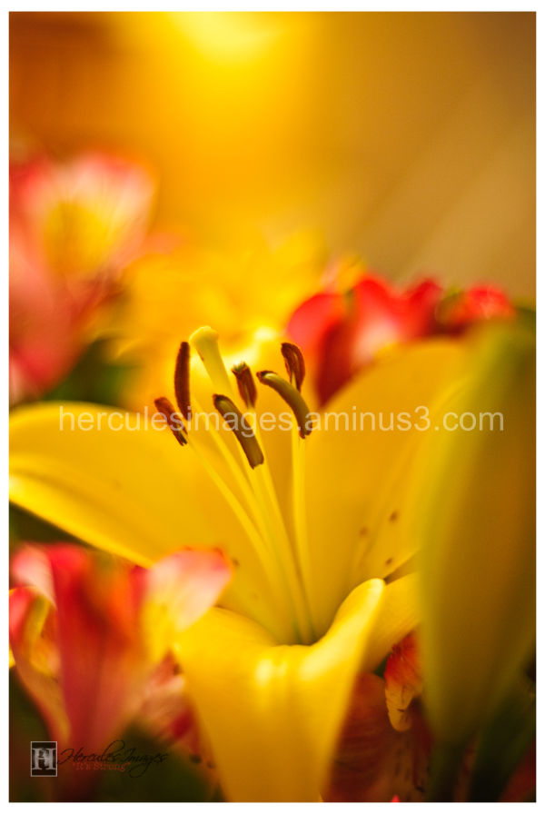 yellow lily in sunlight