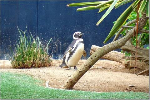 Penguin at Sea World, San Diego, kris francisco