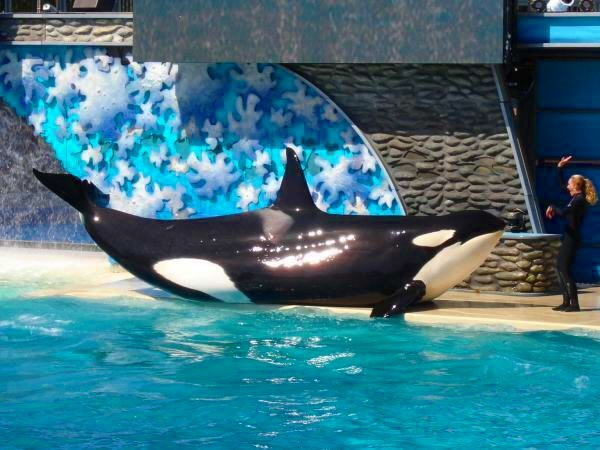 Shamu the killer whale, kris francisco