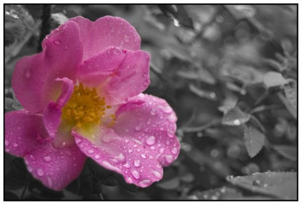 It's a rose.