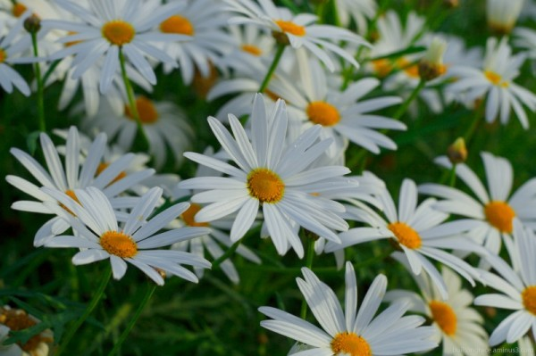 Daisies in bloom
