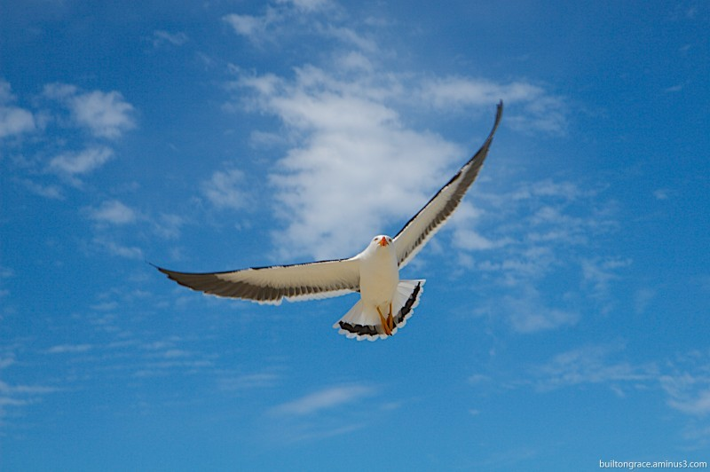 Attacking seagull