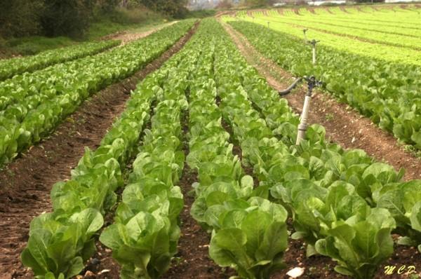 champs de salades