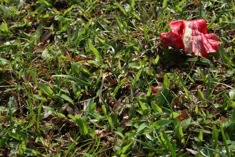 withered red flower