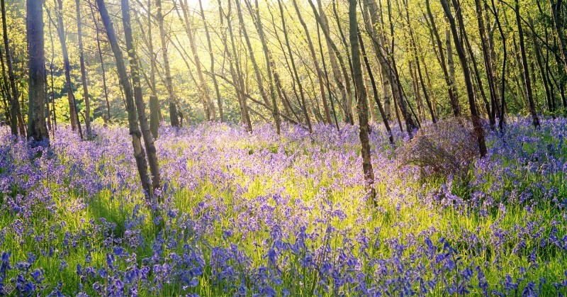 Bluebells, Henley UK