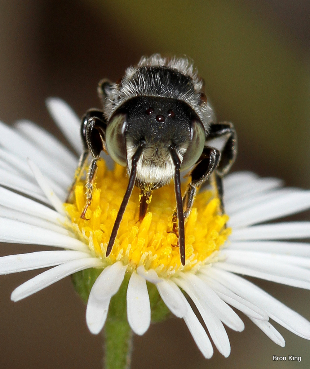 Australian native Bee and flower
