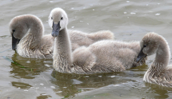 The baby swans