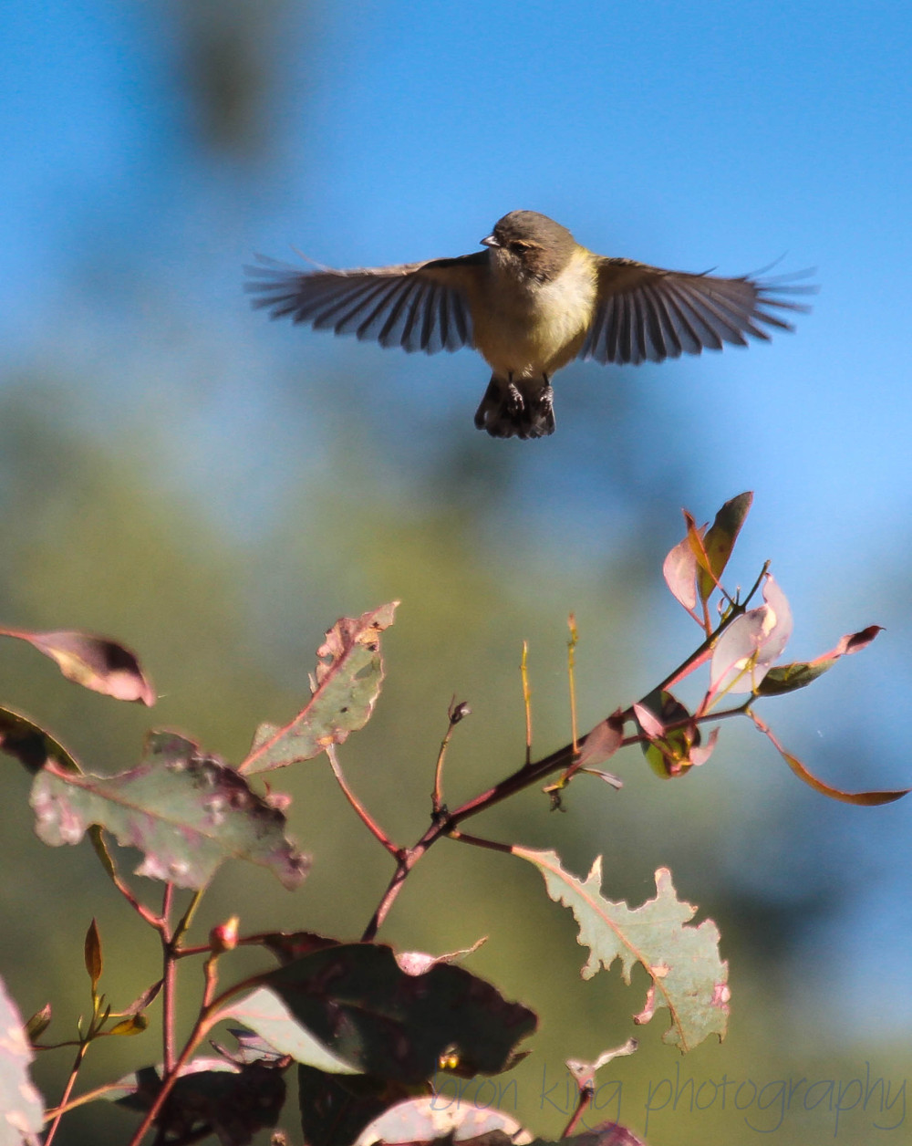 Weebill Smicrornis brevirostris in flight