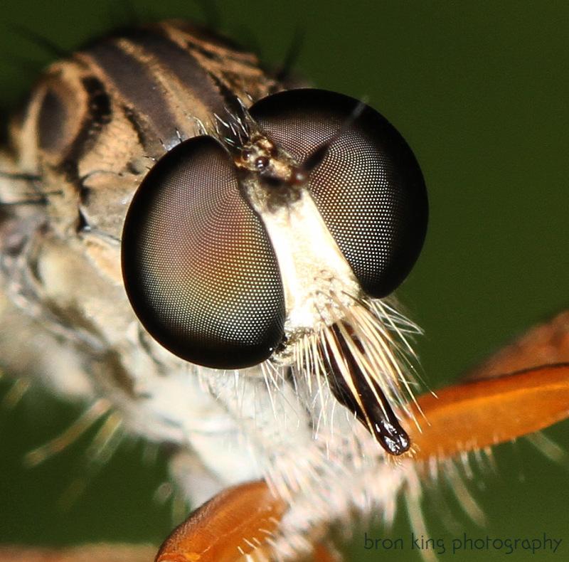 A robberfly macro