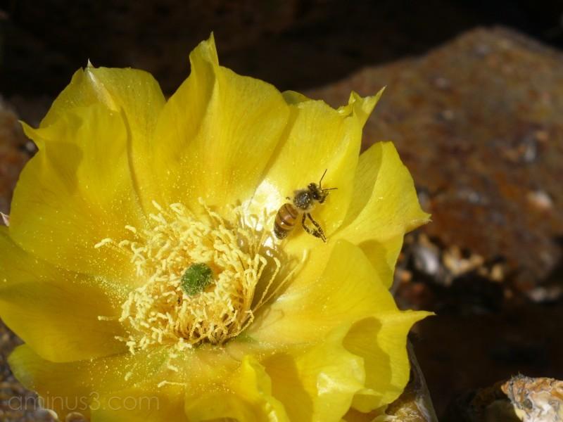 Bee at Big Bend