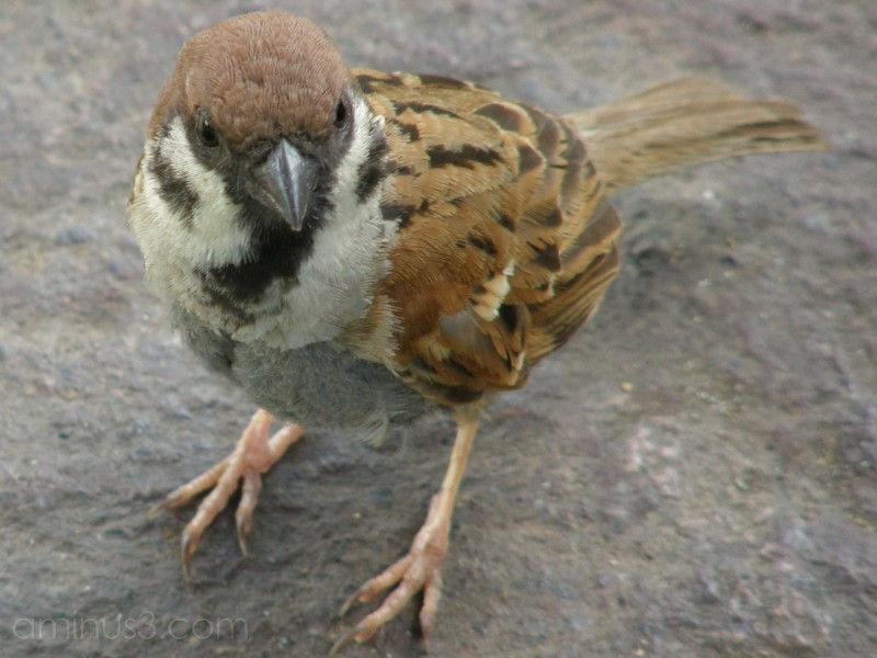 Sparrow at Botanic Garden