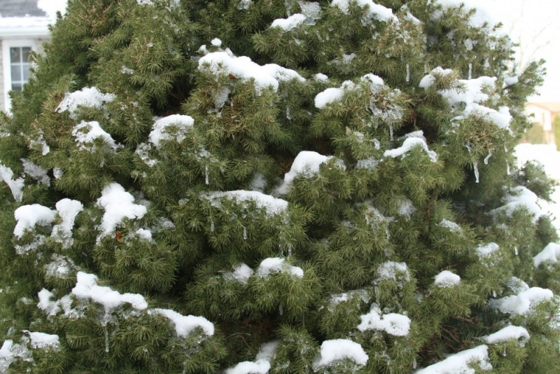 Snowy Boughs