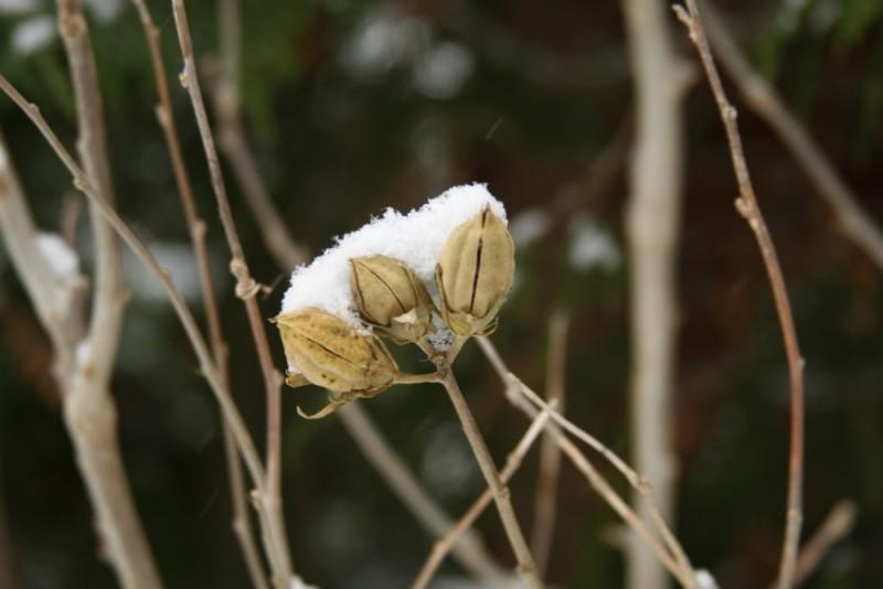 Snowy Vines