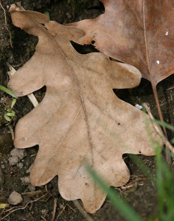In the Garden - Oak Leaf