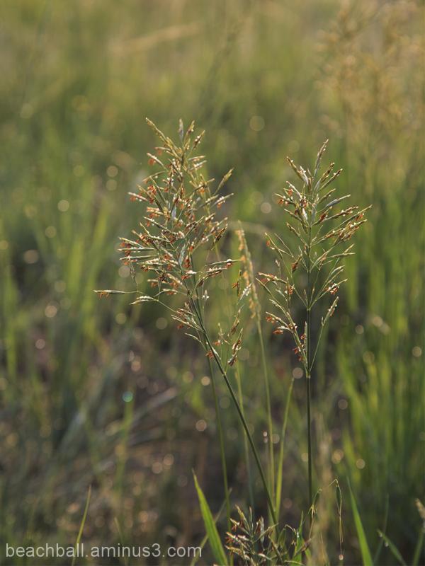 More Prairie Grass