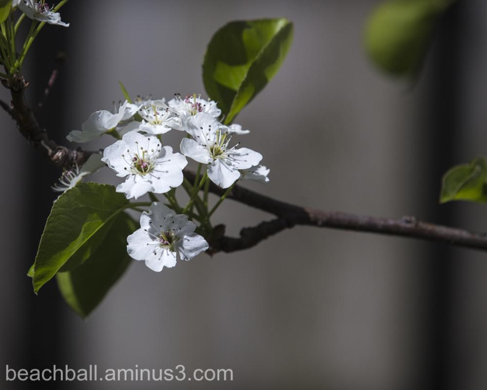Ornamental Pear Blossoms