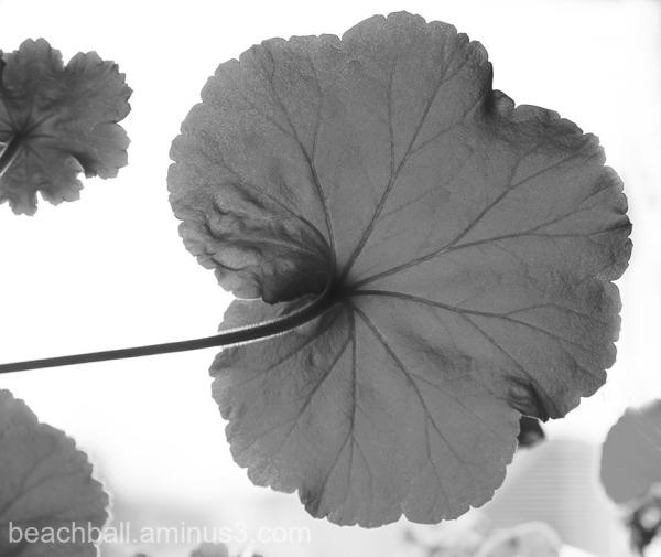 Geranium Leaf, B/W