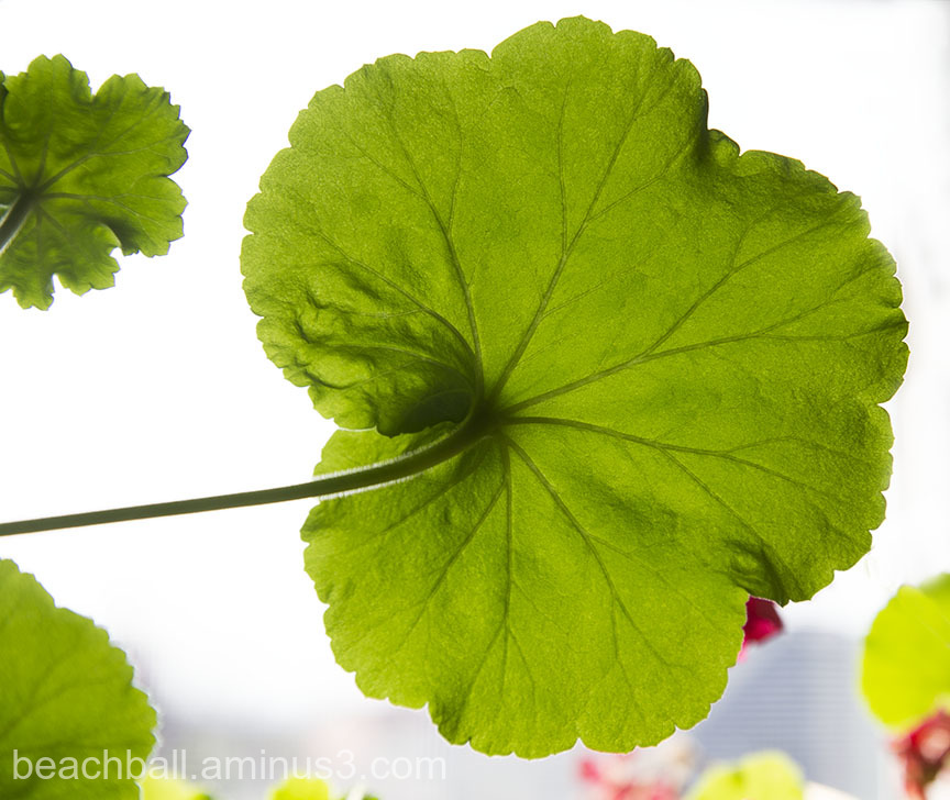 Geranium Leaf, Colour