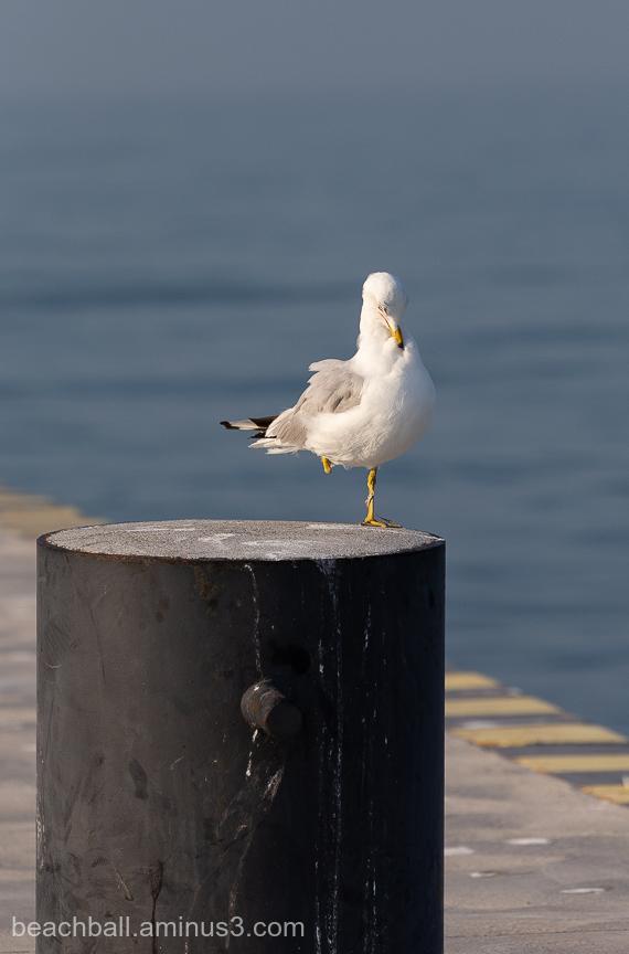 One-Legged Gull