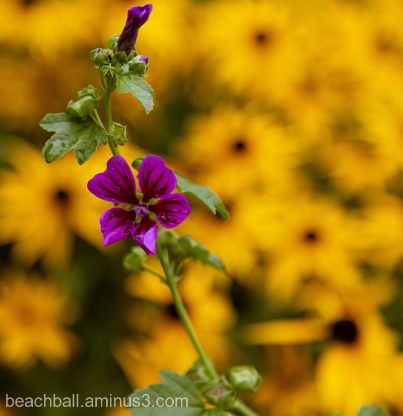 Purple on Yellow