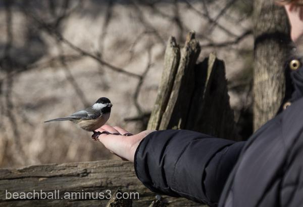 Chickadee on a hand