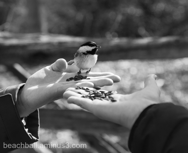 chickadee sitting on a hand