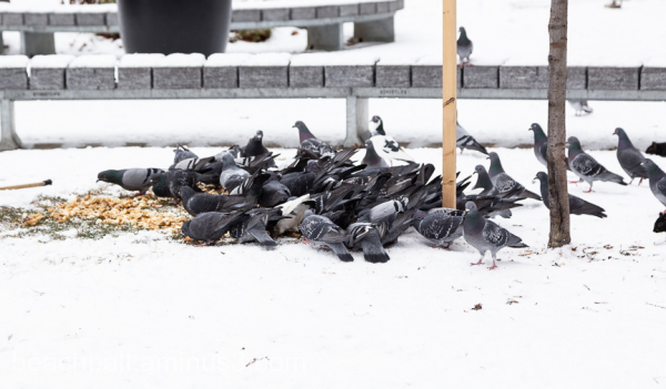 pigeons eating food