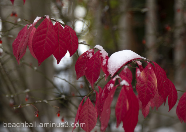 Snow on red leaves