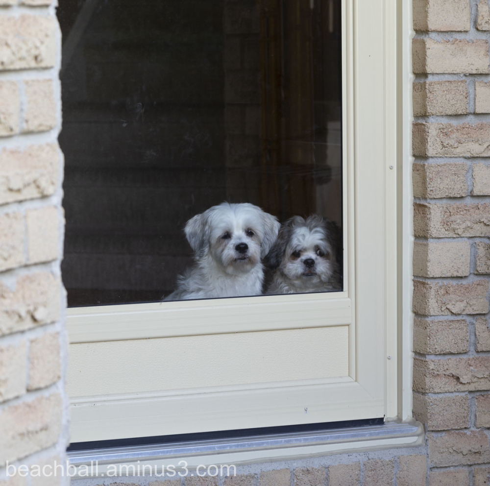 Two dogs looking out a door