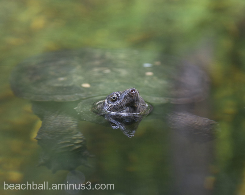 Turtle breaking the surface