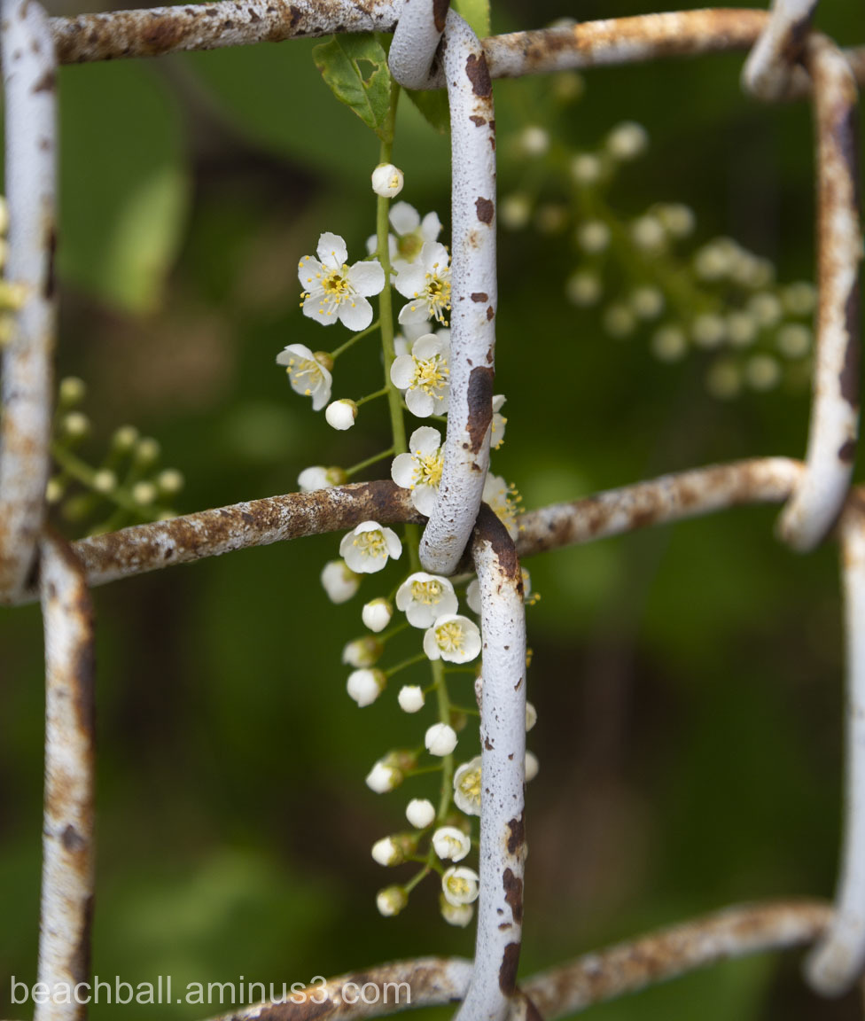 White blossoms climbing a fence