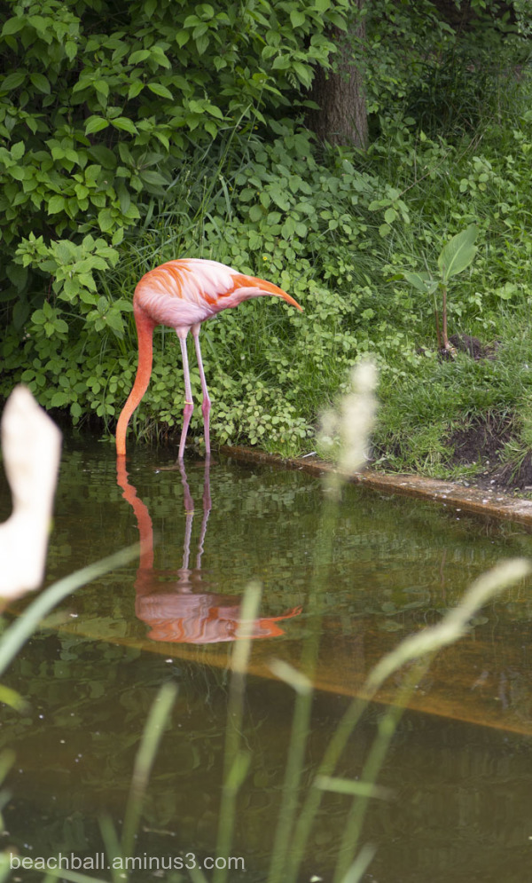 Flamingo with head under water