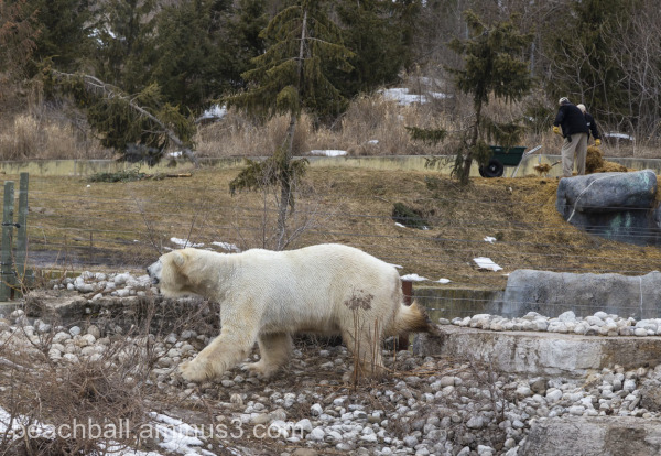 polar bear in captivity