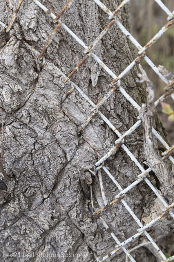 A fence grown into a tree