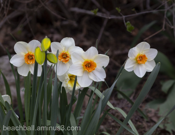 Four white and orange daffodils