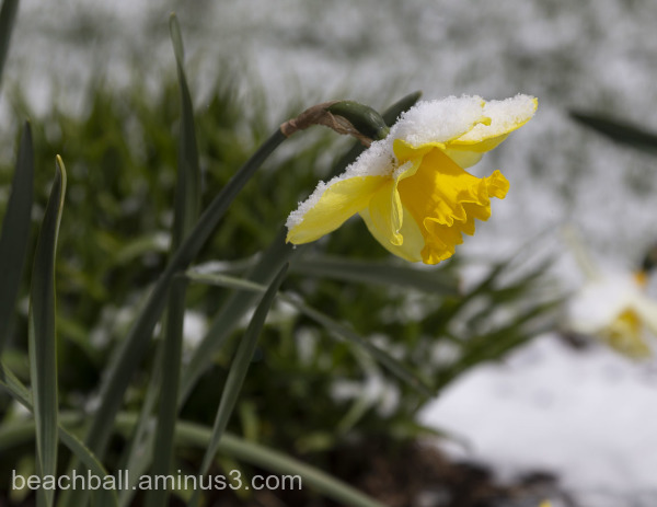 Yellow daffodil with snowy cap