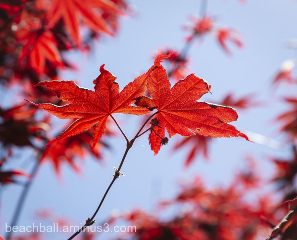 Red Japanses Maple Leaves