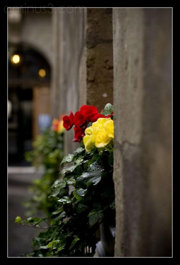 Fleurs Genevoises