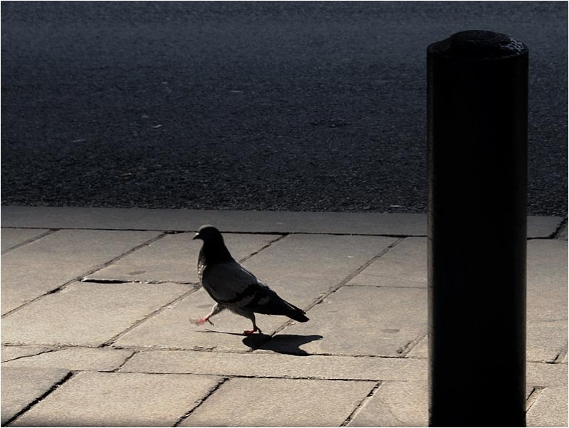 Pigeon struuting on a sidewalk