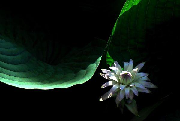 Hostia in bloom at Brooklyn Botanical Garden