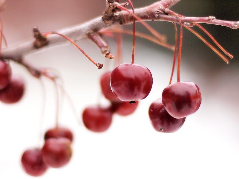 Berries at Brooklyn Botanical Garden