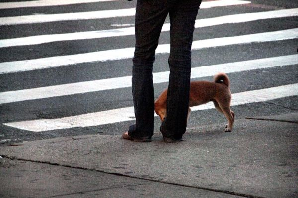 Walking the dog near Madison Square Park